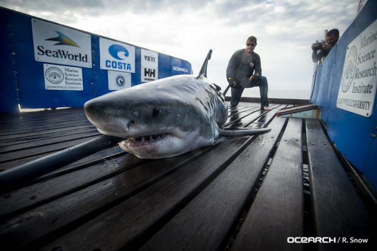 The great white shark 'Miss May.' (Image courtesy of OCEARCH)