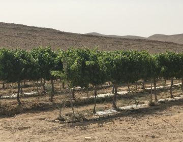 Using desert-taming techniques the ancients mastered, farmers in Israel's Negev desert are growing wine grapes. (Image courtesy of Ben-Gurion University)