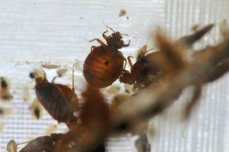 Bedbugs are seen in a container from the lab at the National Pest Management Association, during the National Bed Bug Summit in Washington, Tuesday, Feb. 1, 2011. (AP Photo/Alex Brandon)