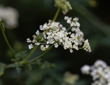 Hemlock flowers (Bigstock/ChWeiss)