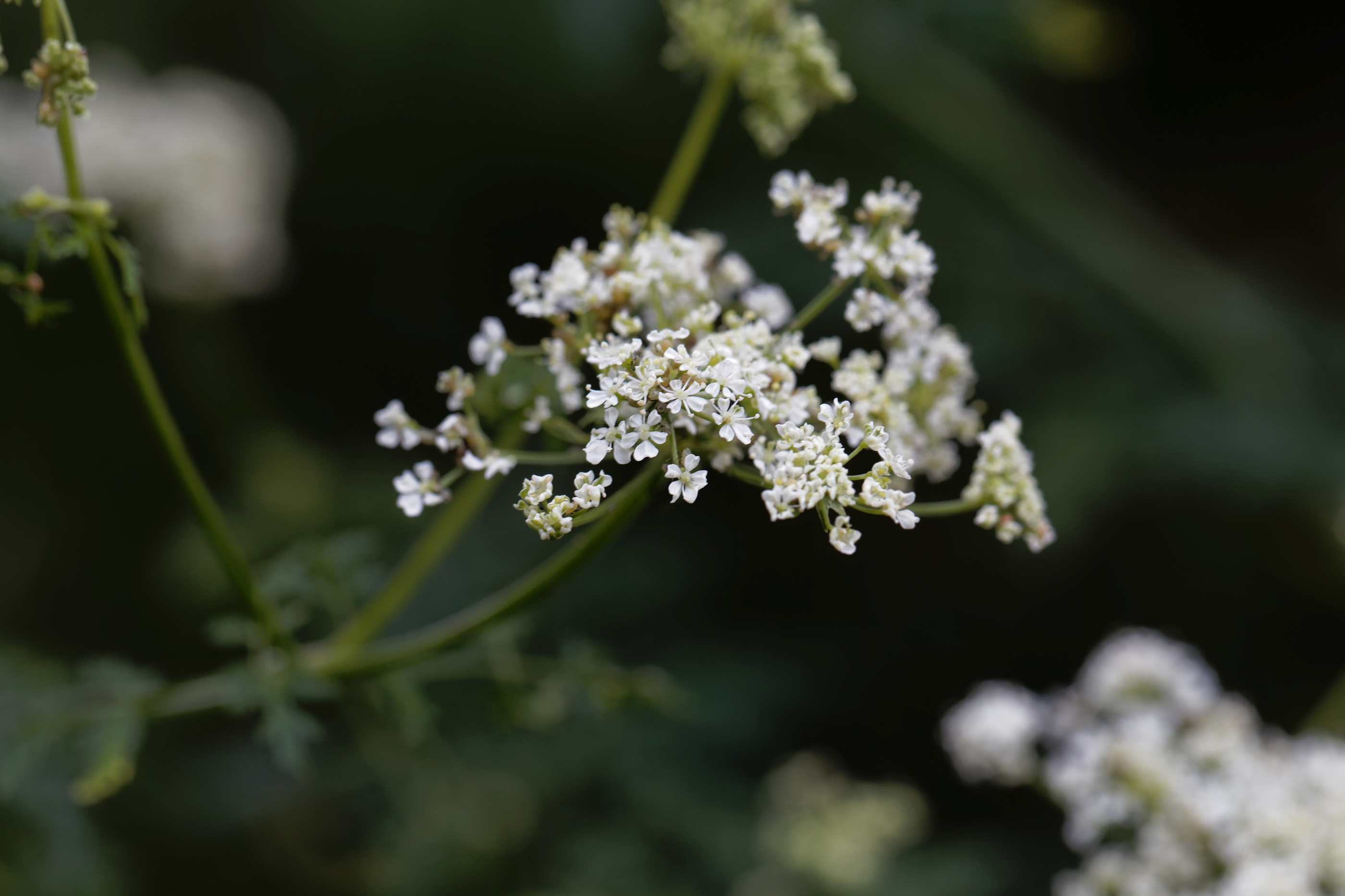 Poison Hemlock A Toxic Invasive Plant Is Popping Up