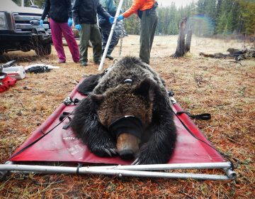 A field crew prepares to weigh a grizzly bear they have collared as part of ongoing research into Alberta's grizzly population. (Molly Segal/For WHYY)
