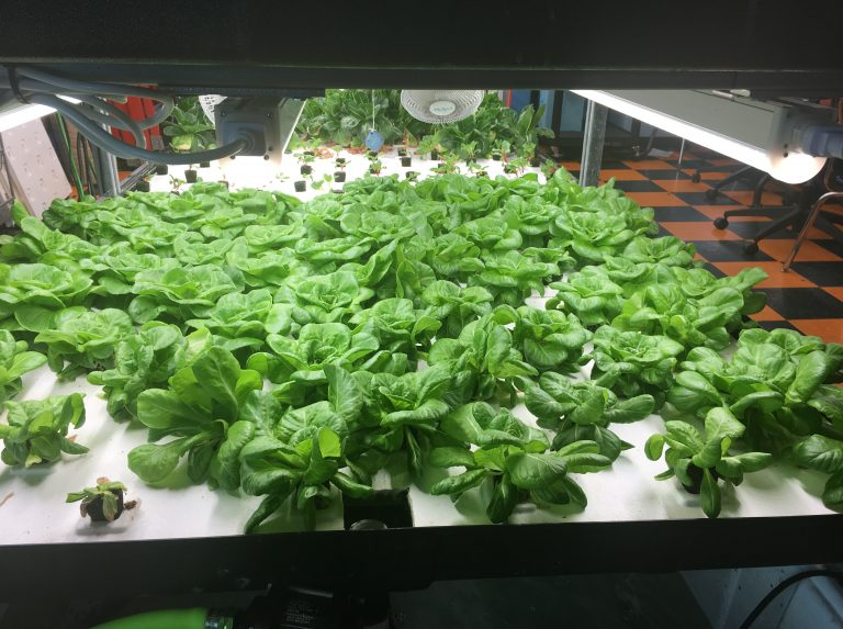 These greens are among the hydroponic crops grown by students at Brownsville Collaborative Middle School, in Brooklyn, N.Y. In June, the students started to sell discounted boxes of the fresh produce to community members. (Robin Lloyd for NPR)