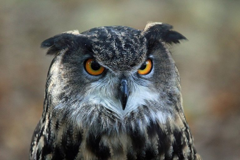 An Eurasian eagle-owl is one of the raptors working in Ocean City to keep seagulls away. (Image: http://carolinabirds.org/) - Own work, CC BY-SA 3.0, https://commons.wikimedia.org/w/index.php?curid=17039928)