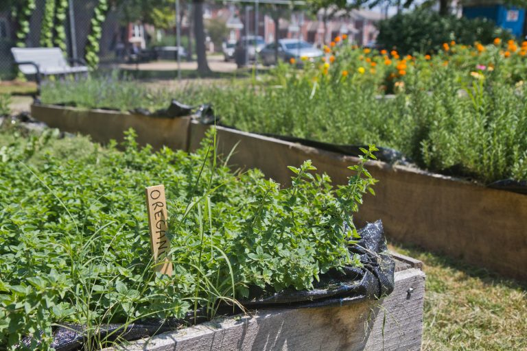 Oregano grows at the Ruth Bennett Community Farm in Chester, Pa. (Kimberly Paynter/WHYY)