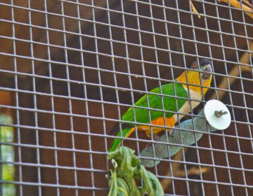 Mo, a black-headed caique, peers out of his cage at the Bradywine Zoo. (Kimberly Paynter/WHYY)