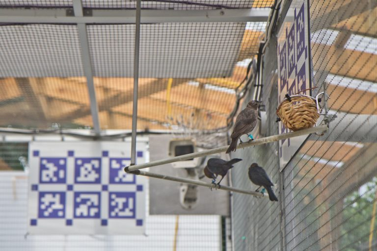 Female cowbirds are gray in color, while males are darker-bodied with brown heads. (Kimberly Paynter/WHYY)