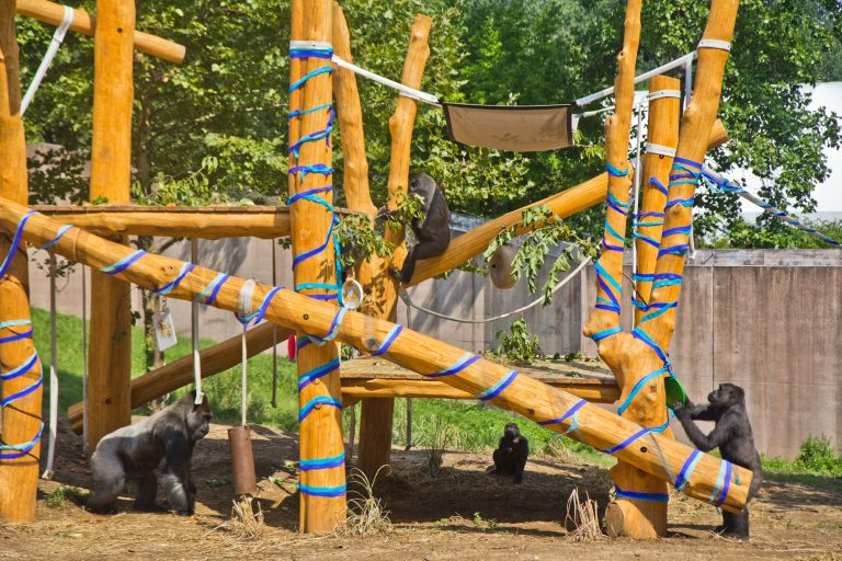 A troop of gorillas play on their treehouse at the Philadelphia Zoo. (Kimberly Paynter/WHYY)