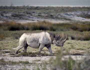Picture taken on March 5, 2019 shows a black rhinoceros in the savannah landscape of the Etosha National Park. (Matthias Toedt/AP via AP)