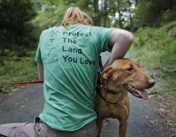 Arden Blumenthal, a NY/NJ Trails conference intern, puts a GPS in Dia's dog pack in Harriman State Park in Tuxedo, N.Y., Tuesday, Aug. 6, 2019.  The nonprofit New York-New Jersey Trail Conference has trained Dia to find Scotch broom plants in two state parks 50 miles (80 kilometers) north of New York City. The invasive shrub is widespread in the Pacific Northwest but new to New York, and land managers hope to eradicate it before it gets established.  (Seth Wenig/AP Photo)
