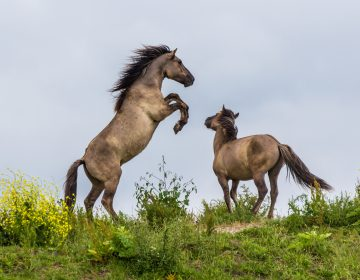 Konik horses fighting in the Oostvaardersplassen reserve in the Netherlands. (Image courtesy of Andrew Balcombe)