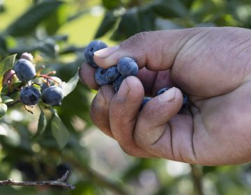 A worker picks blueberries at a farm in