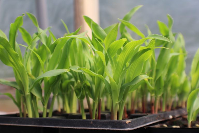 Seedlings growing in a planter.