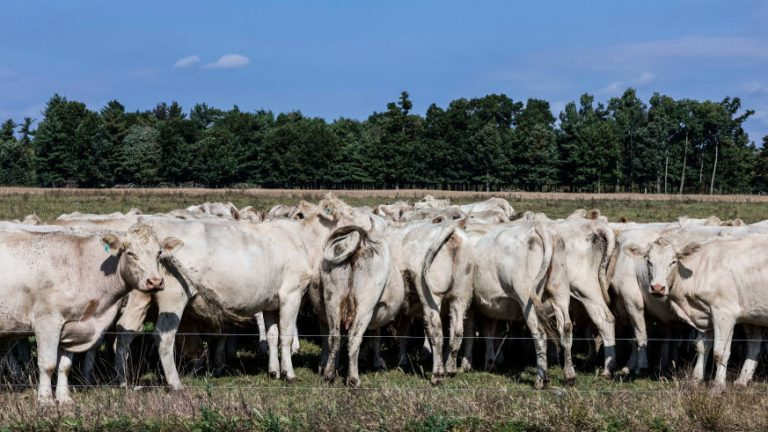 A herd of cows grazes on a grass field at a farm in Schaghticoke, N.Y. The grass-fed movement is based on the idea of regenerative agriculture. (John Greim/LightRocket via Getty Images)