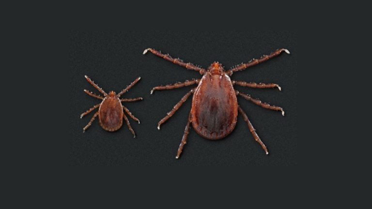 The Asian longhorned tick was discovered in Delaware for the first time. (Courtesy of DNREC)