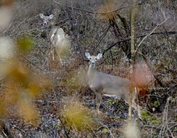 A pair of deer peer through the woods from near a tree on the first day of regular firearms deer hunting season in most of Pennsylvania, Monday, Nov. 26, 2018, in Fombell, Pa. The Pennsylvania firearms deer hunting season runs through Dec. 8 in most of the state. (Keith Srakocic/AP Photo)