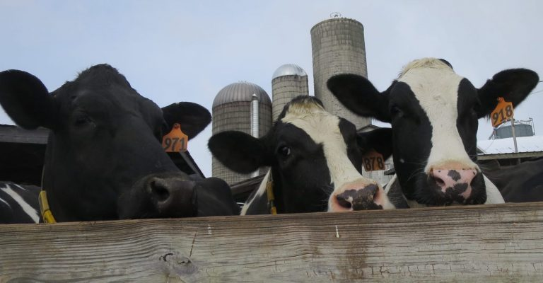 Some of Rob Fulper's dairy cows peek out over a fence. (Katie Colaneri/StateImpact Pennsylvania)