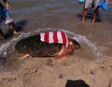 An injured loggerhead sea turtle was washed ashore as a result of Hurricane Dorian. She's receiving rehabilitation at the National Aquarium in Baltimore. (Courtesy of MERR Institute)