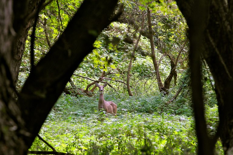 A doe looks up from grazing in a meadow at John Heinz National Wildlife Refuge at Tinicum where a newly initiated bow hunting season is being used to introduce the sport of hunting to those who have never tried it. (Emma Lee/WHYY)
