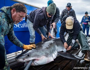 The great white shark Shaw gets tagged off Nova Scotia on Oct. 1. (Courtesy of OCEARCH)