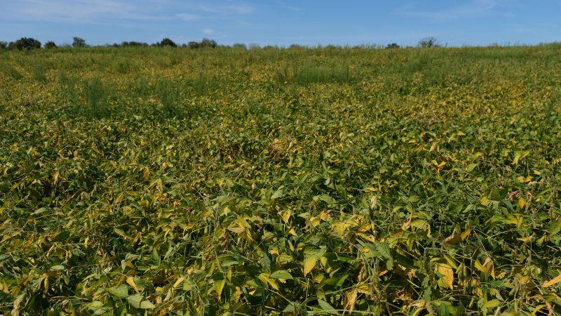 Soybeans grow on land farmed by grain farmer Jesse Poliskiewicz on Sept. 20, 2019, in Upper Mount Bethel Township, Pennsylvania. (Matt Smith for Keystone Crossroads)