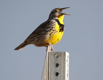 A western meadowlark in the Rocky Mountain Arsenal National Wildlife Refuge in Commerce City, Colo. According to a study released on Thursday, Sept. 19, 2019, North America's skies are lonelier and quieter as nearly 3 billion fewer wild birds soar in the air than in 1970. (AP Photo/David Zalubowski, File)