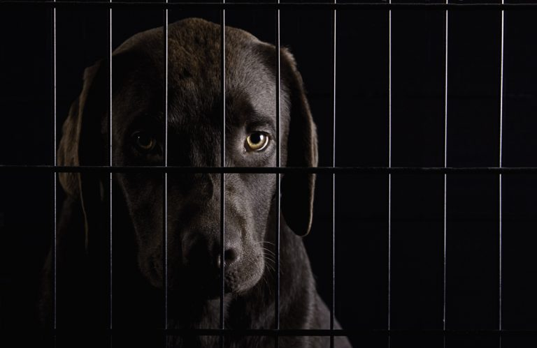 Studio shot of chocolate labrador in cage. (Photo by: Tetra Images/AP Images)