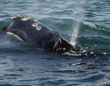 A North Atlantic right whale feeds on the surface of Cape Cod bay off the coast of Plymouth, Mass. Six of the endangered right whales died in the Gulf of St. Lawrence in June 2019, prompting scientists and conservationists to call for a swift response to protect the endangered species. (AP Photo/Michael Dwyer, File)