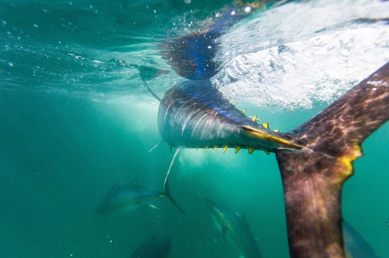 A new study finds that tuna harvests, including of some species considered