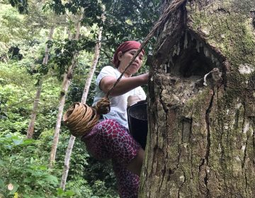 In the forests near the southern Sumatran village of Krui, 48-year-old Marhana climbs up the trees to harvest damar, a resin used in paints and varnishes. These damar trees are part of something called an