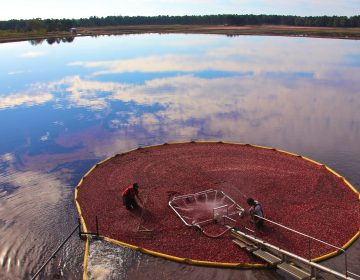 Workers bring in the harvest at Pine Island Cranberry farm in Chatsworth, New Jersey. (Emma Lee/WHYY)