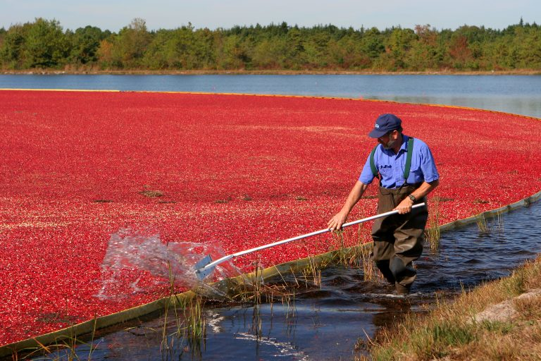 They're a Thanksgiving favorite, but cranberries come at an environmental cost. Third-generation cranberry grower Bill Cutts (pictured here) says his farm uses far fewer insecticides today, compared with 30 years ago. (Image courtesy of Dave Smith)