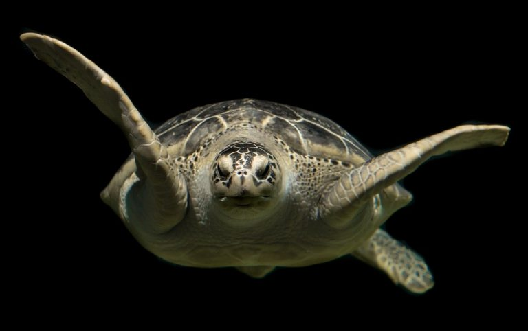 "Migrating sea turtles at risk of washing ashore on New Jersey beaches as either ""cold-stunned"" or dead, wildlife experts say. (Public domain)"