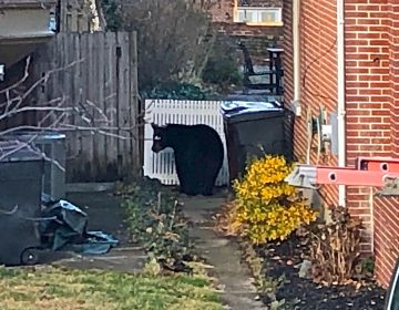 The bear appeared in the alley between two homes in the 1300 block of Clayton St. in Wilmington. (Cris Barrish/WHYY)