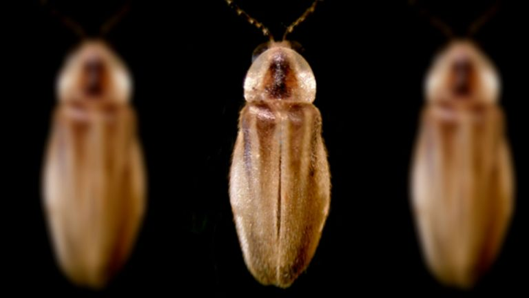 The U.S. Fish and Wildlife Service is considering adding the Bethany Beach firefly to the list of endangered species. (courtesy Christopher M. Heckscher, Delaware State)