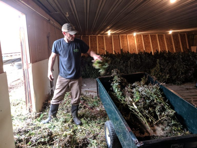 Mitch Shellenberger loads harvested hemp plants into a small trailer so helpers can then line them up to dry on Tuesday, October 29, 2019. (Rachel McDevitt/WITF)