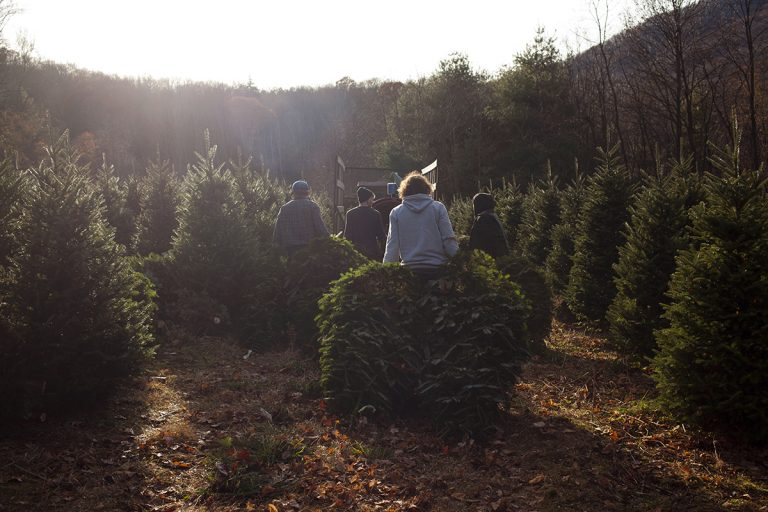 Workers harvest Fraser fir Christmas trees on Joey Clawson's farm, outside Boone, NC. (Irina Zhorov/For WHYY)