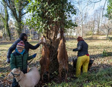 Goats from the Philly Goat Project eat the leaves from invasive vines to clear the way for landscapers to identify and cut down English ivy to save hundred year old trees.  (Jessica Kourkounis/For WHYY)