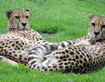 Buju and Beenie, cheetahs at the Cape May County Park and Zoo. (Courtesy of the Cape May County Sheriff's Office)