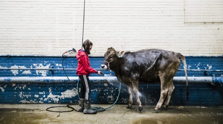 Kristin Shaffer, 12, of Port Trevorton, Pa., cleans her brown Swiss dairy cow during the 103rd Pennsylvania Farm Show in Harrisburg, Pa., Wednesday, Jan. 9, 2019. ( Matt Rourke / AP)