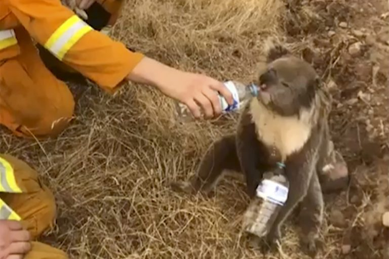In this image made from video taken on Dec. 22, 2019, and provided by Oakbank Balhannah CFS, a koala drinks water from a bottle given by a firefighter in Cudlee Creek, South Australia. (Oakbank Balhannah CFS via AP)