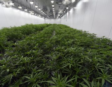 This Aug. 22, 2019 photo shows medical marijuana plants being grown before flowering during a media tour of the Curaleaf medical cannabis cultivation and processing facility in Ravena, N.Y. (Hans Pennink/AP Photo)