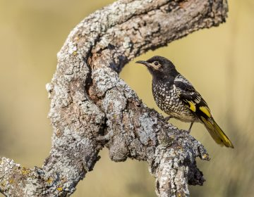 Female regent honeyeater in Capertee National Park, New South Wales, Australia. There are only 300 to 400 of the birds left in the wild, says Ross Crates, an ecologist at Australia National Universit. (David Stowe/via AP Photo)