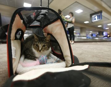 Oscar the cat sits in his carry on travel bag after arriving at Phoenix Sky Harbor International Airport Wednesday, Sept. 20, 2017, in Phoenix. (Ross D. Franklin/AP Photo)