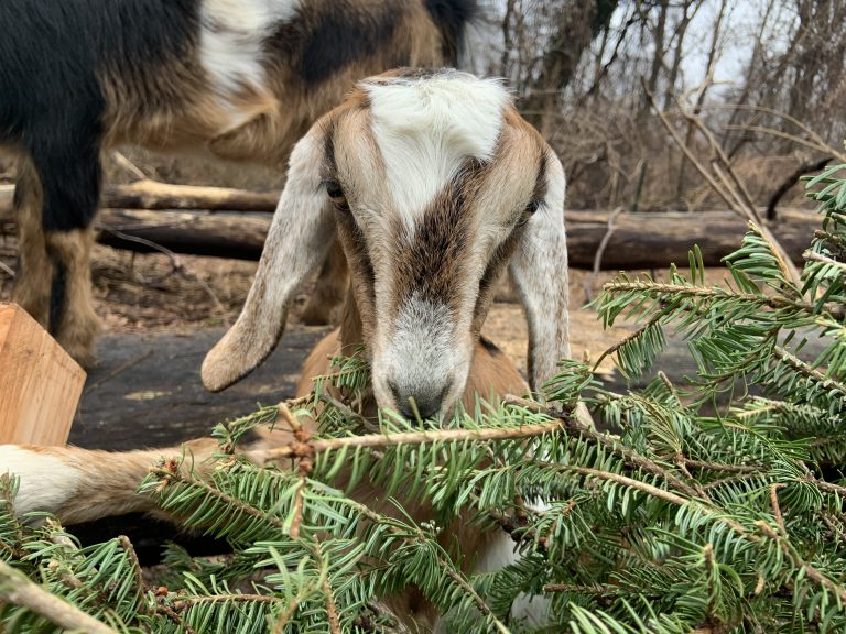 A goat nibbles on a Christmas tree (Philadelphia Goat Project)