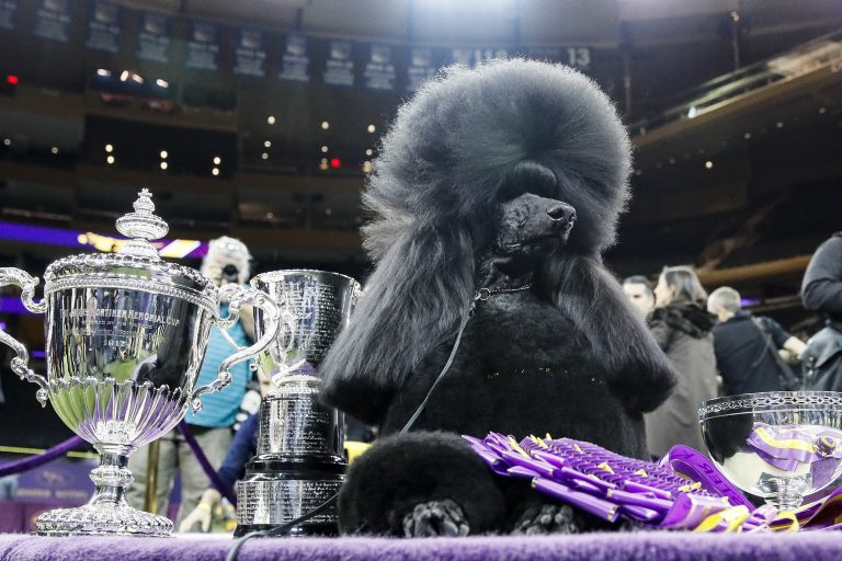 Siba, the standard poodle, poses for photographs after winning Best in Show in the 144th Westminster Kennel Club dog show, Tuesday, Feb. 11, 2020, in New York. (AP Photo/John Minchillo)