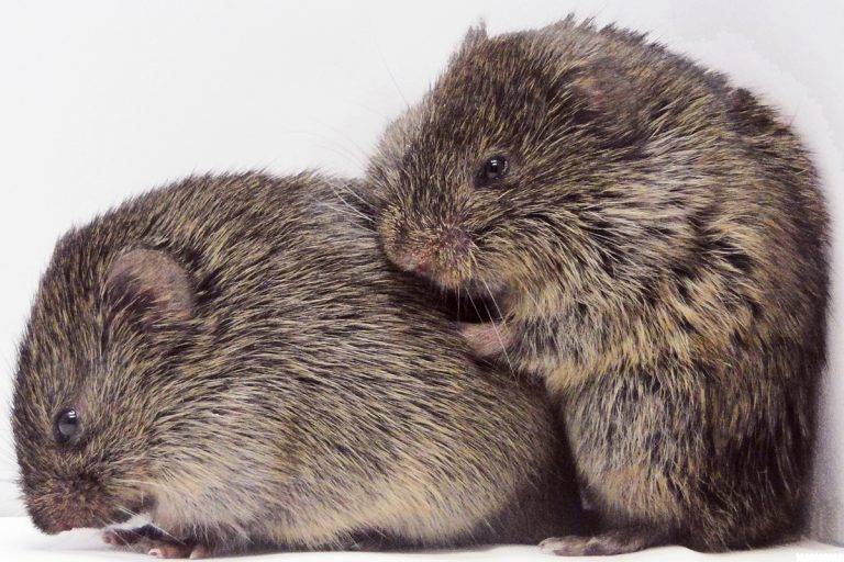 Heartbroken voles get over their ex's with a shot of oxytocin. It's not so simple in humans, but researchers find you can ease the ache. (Image courtesy of Larry Young)