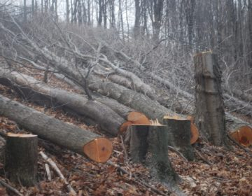 Trees cut on a Susquehanna County property in March 2016 to make way for the proposed Constitution Pipeline. The company has said it will fight a FERC order upholding New York State's denial of a permit for the project. (Jon Hurdle/StateImpact Pennsylvania)