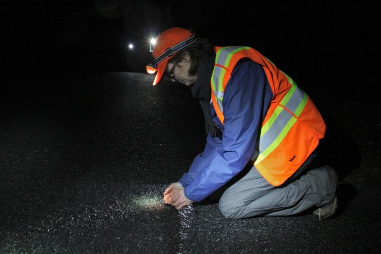 Laurie Cleveland of the Sourland Conservancy scoops up a wood frog to help it across the road, while volunteers with headlamps and flashlights patrol try to save the amphibians from being crushed by passing cars. (Emma Lee/WHYY)