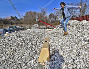 Sarah Bouboulis, Habitat Specialist at the Partnership for the Delaware Estuary in Wilmington, Delaware, carefully walks down a small mountain of oyster shells ready to be recycled.  (Butch Comegys for WHYY)
